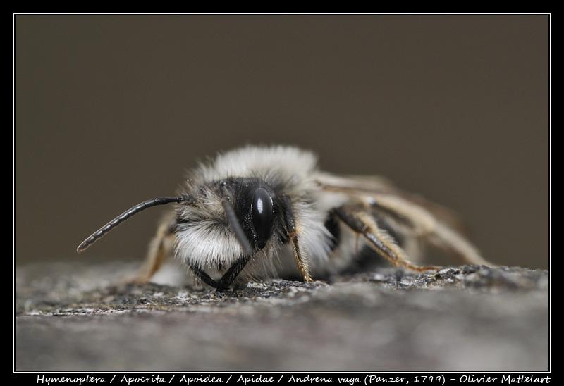 Andrena vaga (Panzer, 1799)