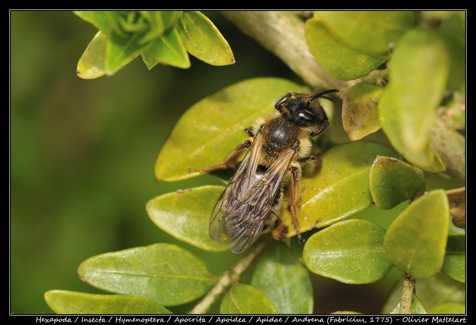 Andrena (Fabricius, 1775)