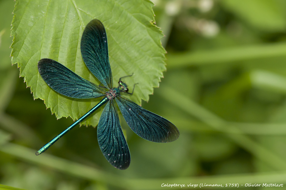 Calopteryx virgo (Linnaeus, 1758)