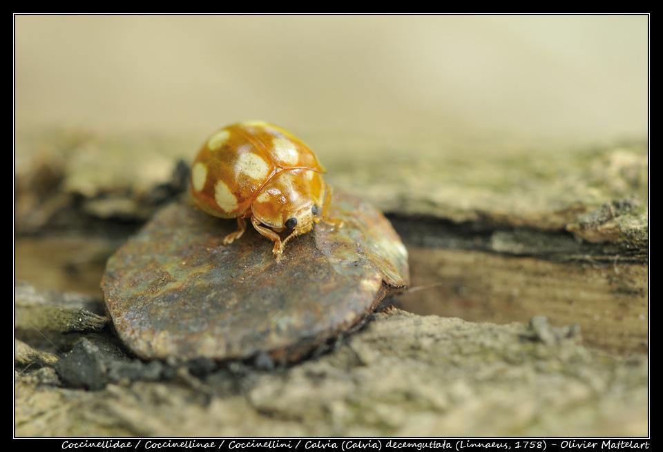 Calvia (Calvia) decemguttata (Linnaeus, 1758)