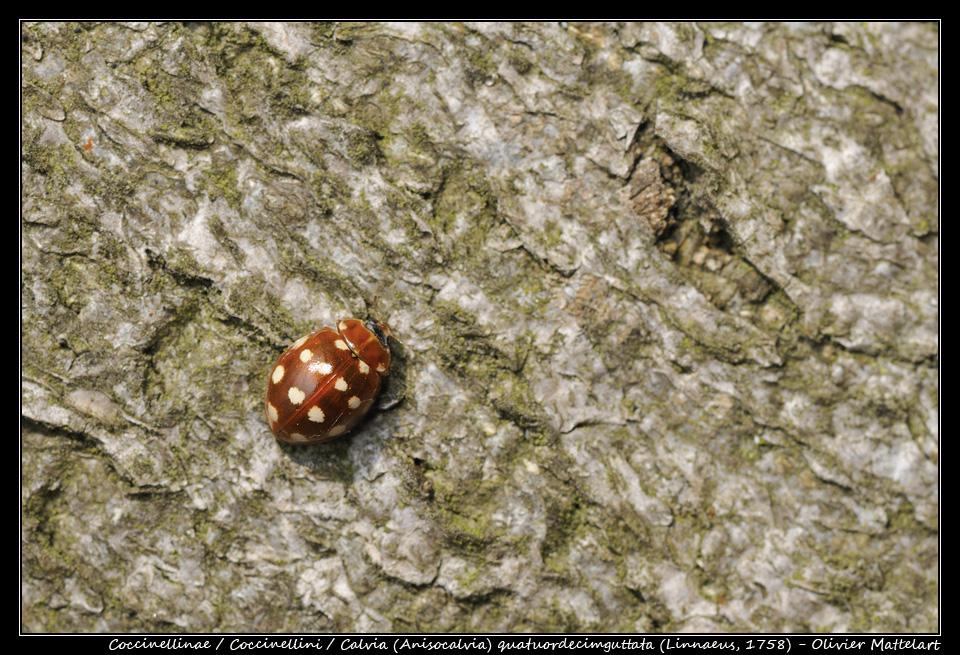 Calvia (Anisocalvia) quatuordecimguttata (Linnaeus 1758)