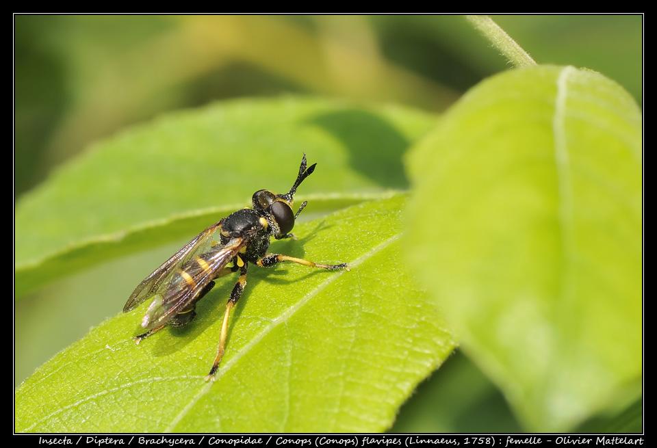 Conops (Conops) flavipes (Linnaeus, 1758) : femelle