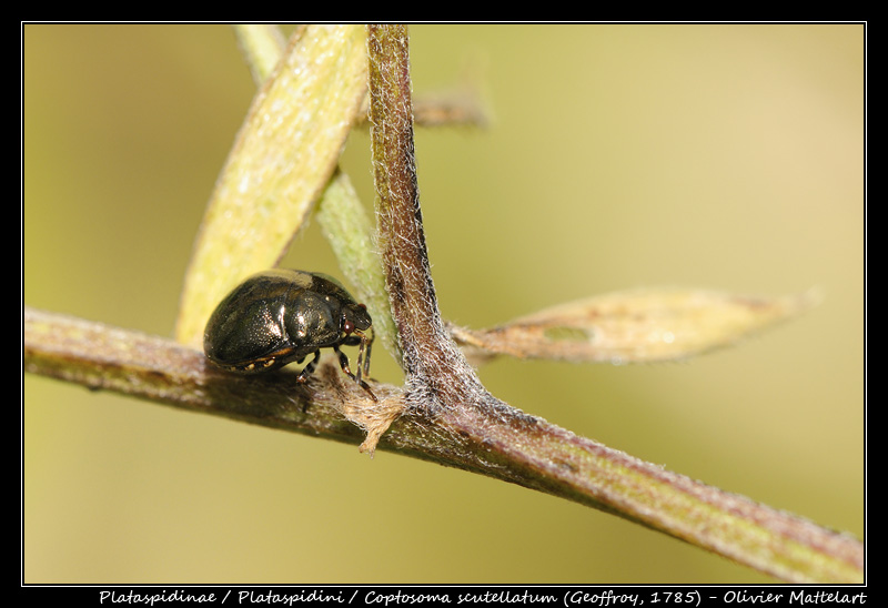 Coptosoma scutellatum (Geoffroy, 1785)