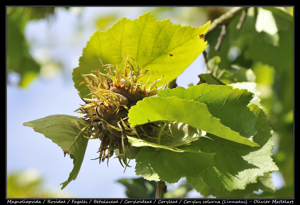 Corylus colurna (Linnaeus)