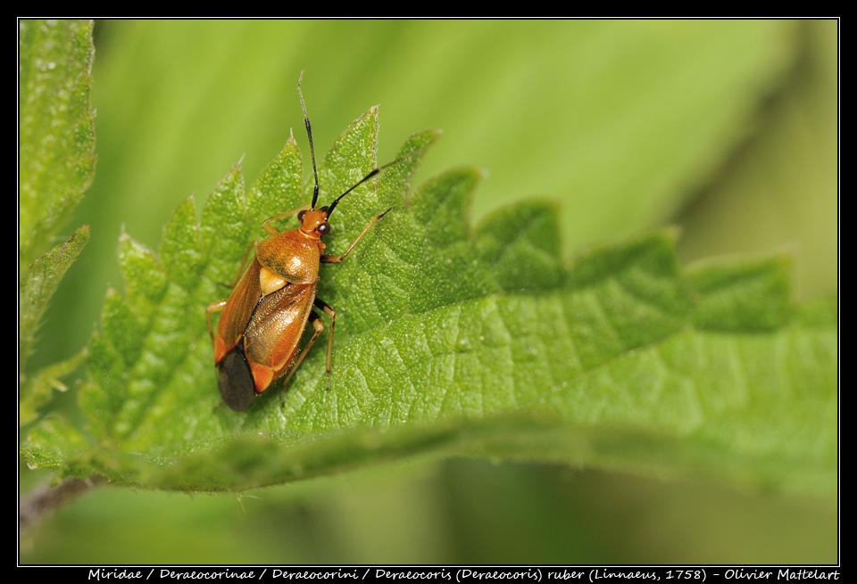 Deraeocoris (Deraeocoris) ruber (Linnaeus 1758)
