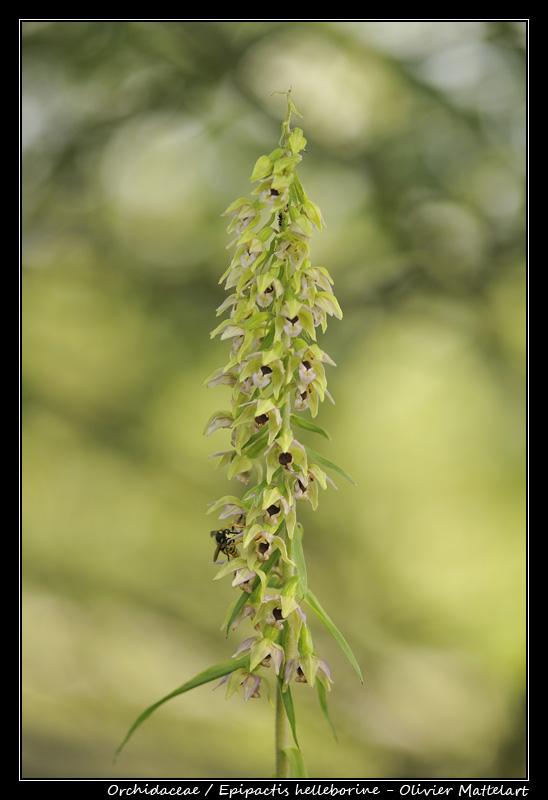 Epipactis helleborine (L.) Crantz