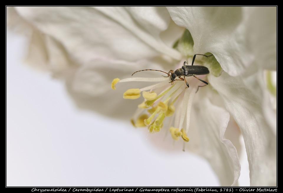 Grammoptera ruficornis (Fabricius, 1781)
