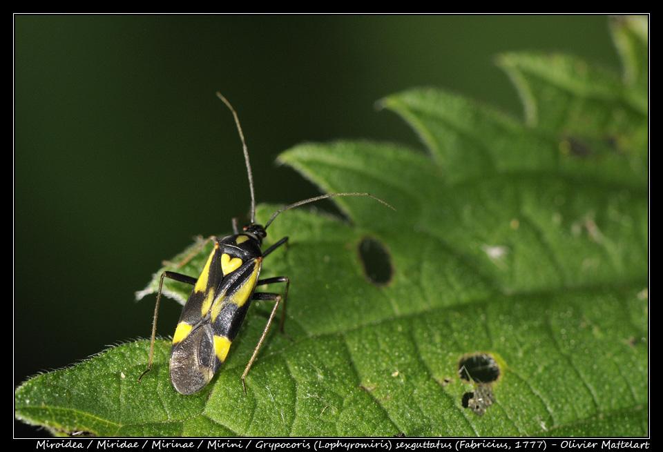 Grypocoris (Lophyromiris) sexguttatus (Fabricius, 1777)