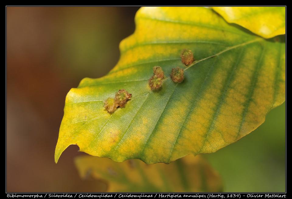 Hartigiola annulipes (Hartig, 1839)