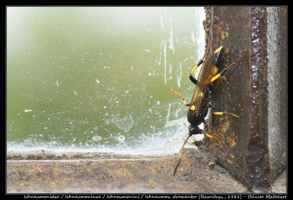 Ichneumon stramentor (Rasnitsyn, 1981) : femelle