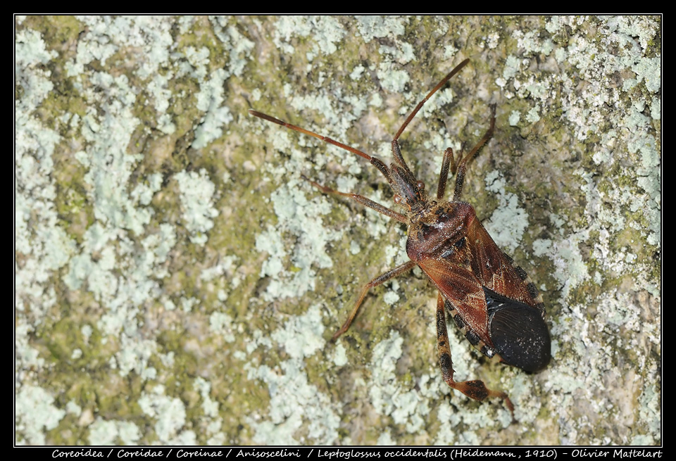 Leptoglossus occidentalis (Heidemann, 1910)