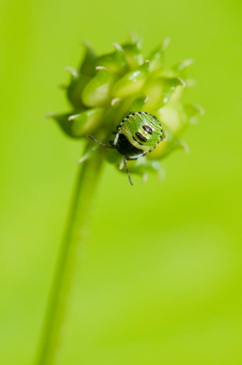 Palomena prasina  (Linnaeus, 1761)