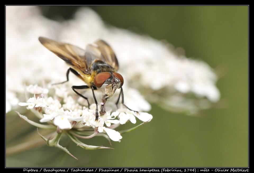 Phasia hemiptera (Fabricius, 1794) : mâle
