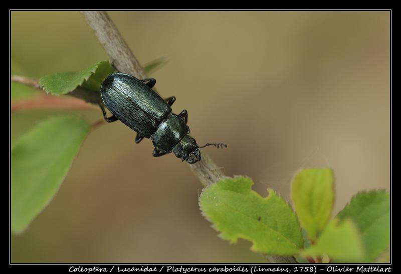 Platycerus caraboides (Linnaeus, 1758)