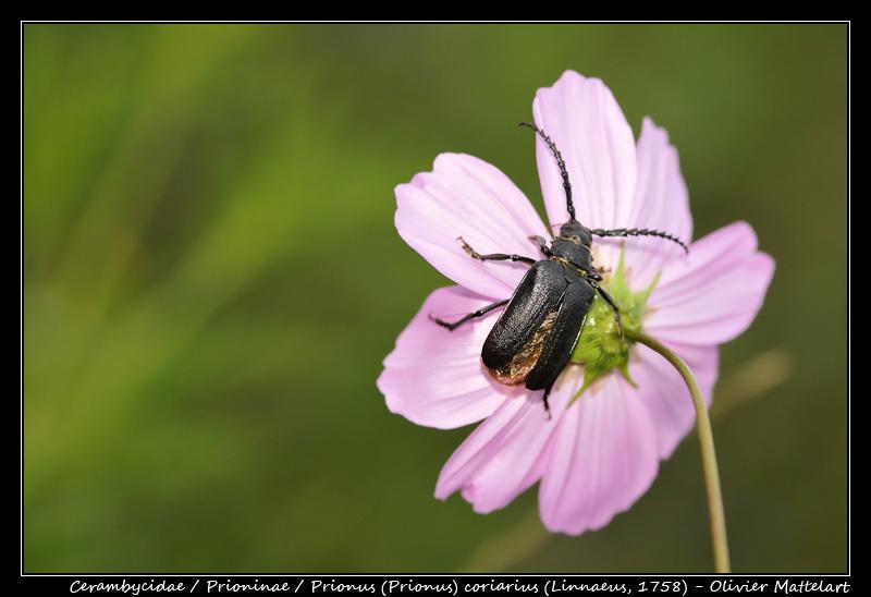 Prionus (Prionus) coriarius (Linnaeus, 1758)