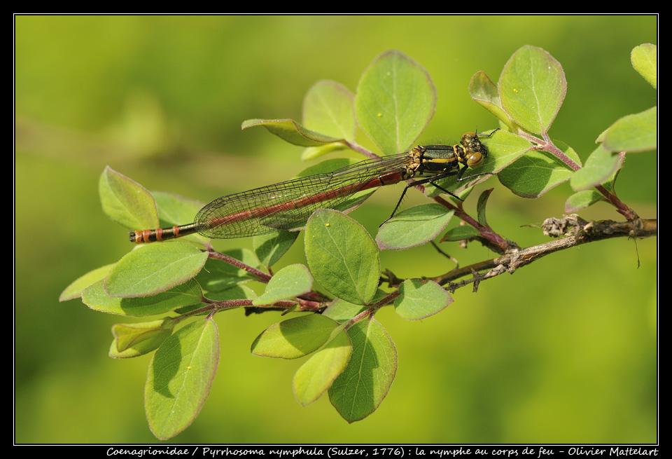 Pyrrhosoma nymphula (Sulzer, 1776)