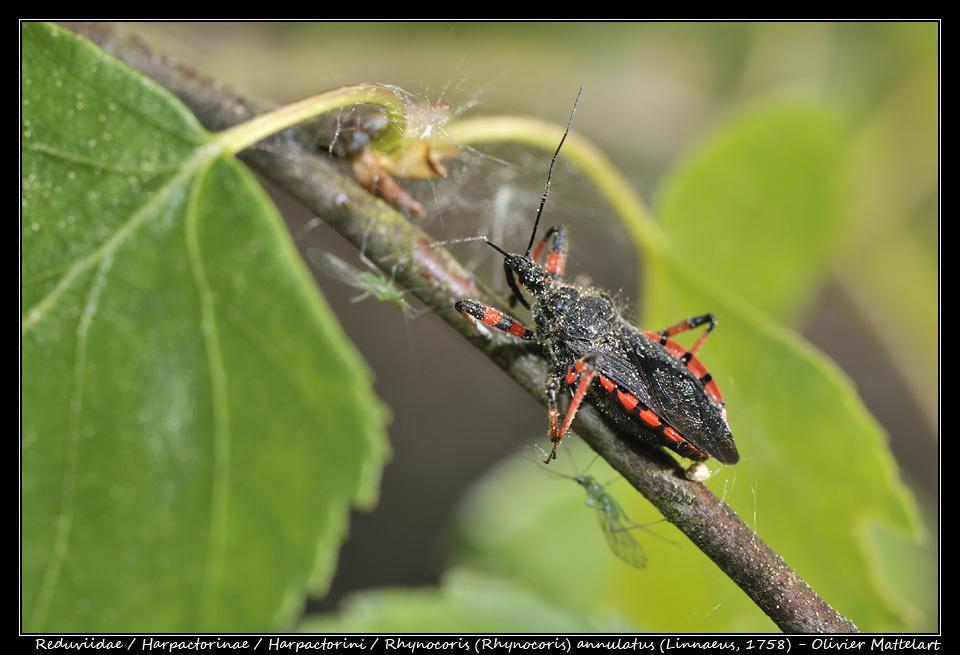 Rhynocoris (Rhynocoris) annulatus (Linnaeus, 1758)