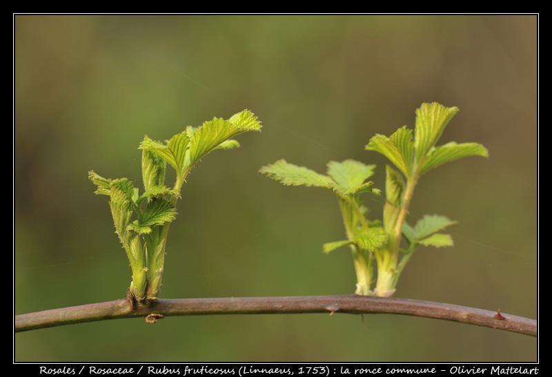 Rubus fruticosus (Linnaeus, 1753)