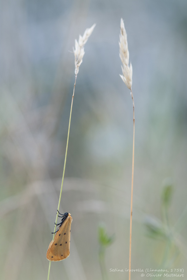 Setina irrorella (Linnaeus, 1758)
