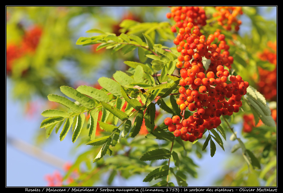 Sorbus aucuparia (Linnaeus, 1753)