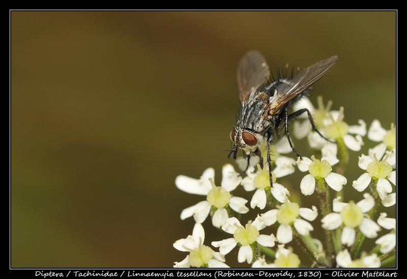 Linnaemyia tessellans