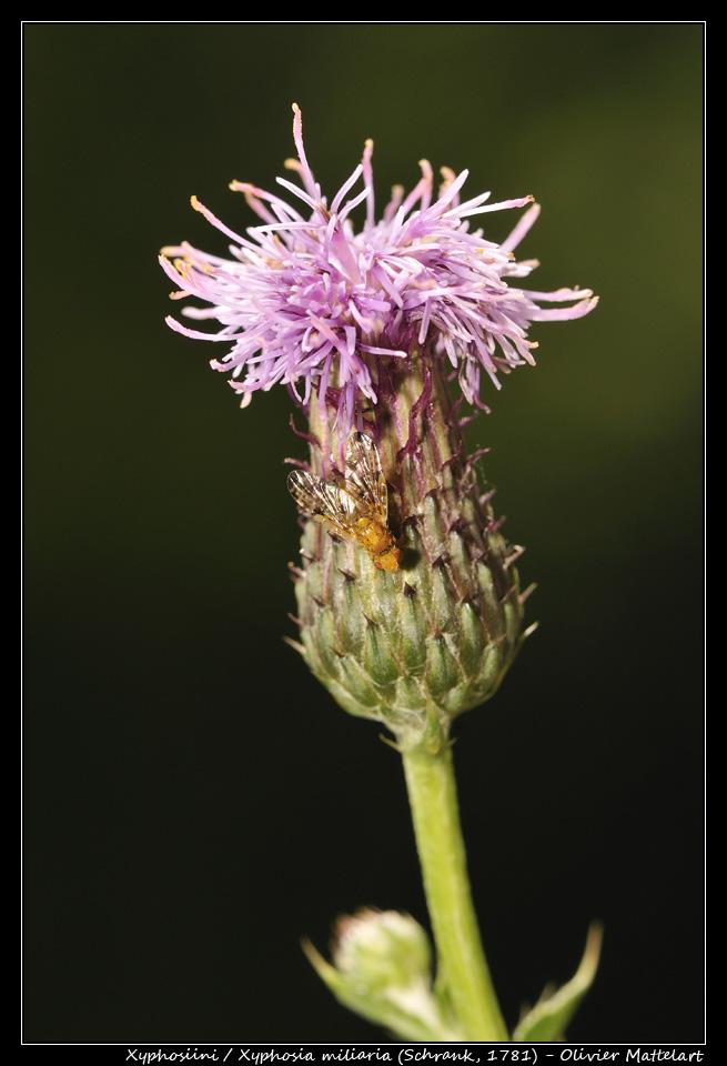 Xyphosia miliaria (Schrank, 1781)
