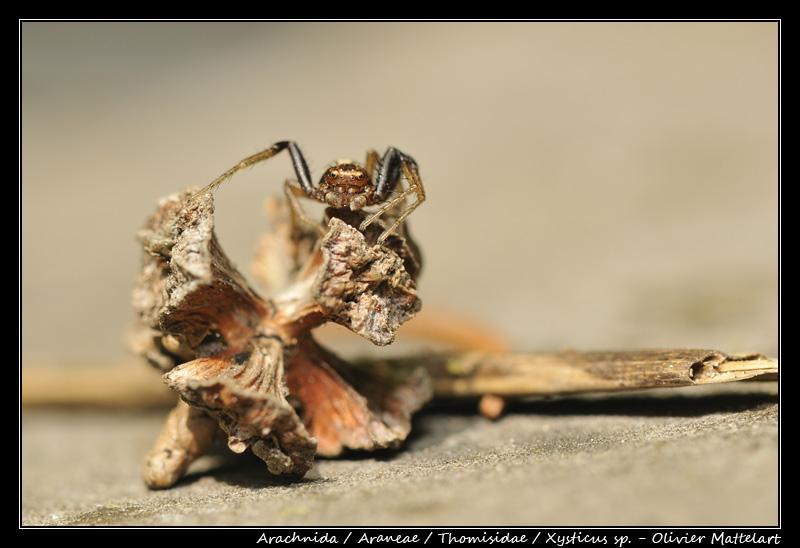 Xysticus sp.